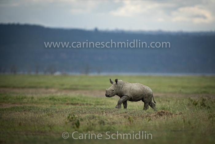 Bébé Rhinocéros blanc (Southern White Rhino)